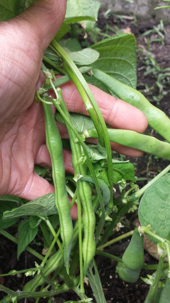 green beans - 1